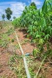 Impianto di irrigazione della tubatura dell'acqua per l'azienda agricola della manioca Immagini Stock