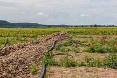 Impianto di irrigazione sul campo coltivare lampone Fotografia Stock Libera da Diritti
