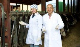 Impiegati dell'azienda agricola che stanno vicino a mungere gregge Fotografia Stock Libera da Diritti