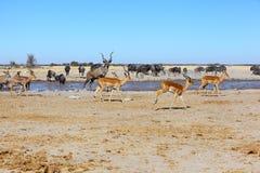 Implalas, Kudu и голубая антилопа гну на waterhole Стоковое Изображение