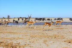 Implalas, Kudu's and blue wildebeest at the waterhole Stock Image