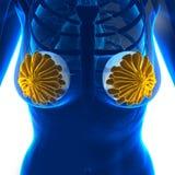Implante de peito da mulher - isolado no branco ilustração royalty free