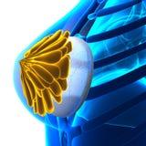 Implante de peito da mulher - isolado no branco ilustração stock