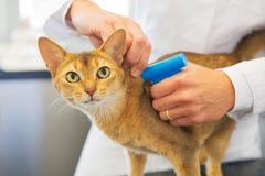 Implante del microchip por el gato Fotos de archivo libres de regalías