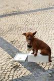 Implorando a chihuahua Fotos de Stock