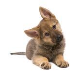 Implorando o cachorrinho do pastor de Germand fotografia de stock