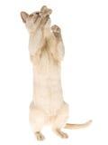 Implorando o gatinho Burmese, no fundo branco Foto de Stock