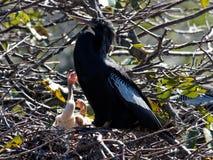 Implorando pássaros de bebê Foto de Stock Royalty Free