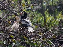 Implorando pássaros de bebê Imagem de Stock