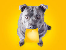Imploring staffie with a sticky note on his mouth Royalty Free Stock Photos