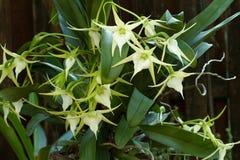 Impollinato da un lepidottero, orchidea della cometa di Darwin Immagini Stock