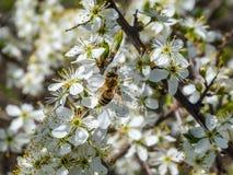Impollinazione dei fiori da un'ape Immagini Stock