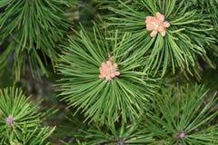 Impollinazione del pino un giorno di inizio dell'estate immagine stock libera da diritti