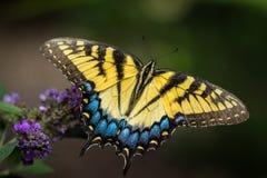Impollinazione della farfalla di monarca Fotografia Stock Libera da Diritti