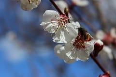 Impollinazione di un fiore Immagine Stock