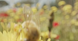 Impollinazione - macro colpo speciale di un'ape su un fiore coperto di polline del fiore archivi video