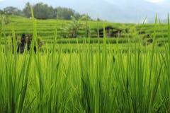 Imponerande föreställning terrasserade risfält av Jatiluwih Royaltyfria Bilder