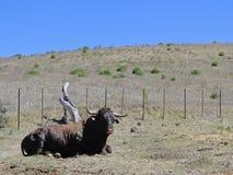 Imponierender Stier Stockfotos