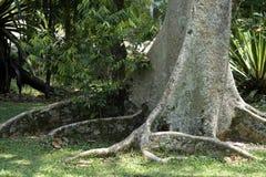 Imponująco korzenie figi drzewo w lesie Zdjęcie Stock