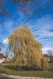Imponująco wierzbowy drzewo Obrazy Royalty Free