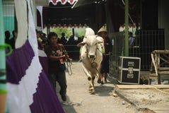 IMPORTACIÓN DEL GANADO DE INDONESIA Imagen de archivo