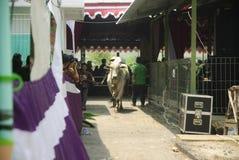 IMPORTACIÓN DEL GANADO DE INDONESIA Fotos de archivo libres de regalías
