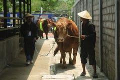 IMPORTACIÓN DEL GANADO DE INDONESIA Foto de archivo libre de regalías