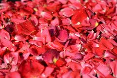 Rose petals bathed in spring rain drops. Important anniversaries and holidays to remember and share royalty free stock images