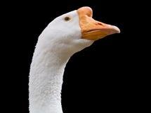 Important goose. On black background Royalty Free Stock Image