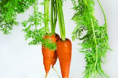 Important human food, carrot root vegetables, rich in carotene, vegetarian nutrition and health ingredients,. Important human food, root vegetables carrots, rich Stock Image
