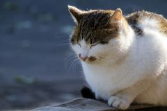 Imposing cat sitting with her eyes closed. In pleasure Royalty Free Stock Images