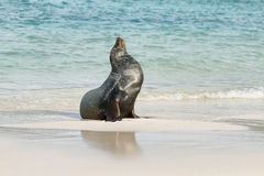 Imposing male of Sea Lion. On the sand in Santa Fe island, Galapagos, Ecuador Royalty Free Stock Images