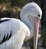 Imposing Pelican Royalty Free Stock Photo