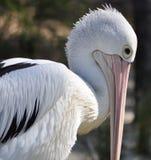 imposing pelikan Royaltyfri Foto