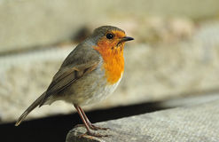 Imposing Robin (Erithacus rubecula) Stock Images