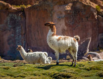 Imposing standing llama on a field - Bolivia. Imposing standing llama on a field Stock Photos