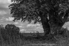 Imposing tree in green. Black and white Royalty Free Stock Photo