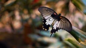 Imposizione tropicale della barca a vela della farfalla Fotografia Stock