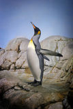 Impossible Dream. Penguin with beak towards the sky and flapping wings on rocks stock photography