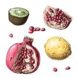 Imposti la frutta Limone, granato, kiwi Illustrazione di vettore Fotografie Stock