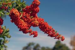Imposti molto l'albero rosso della bacca fotografia stock libera da diritti