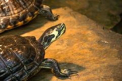 Impregnación para arriba de la tortuga del agua en una piedra mojada Imagen de archivo libre de regalías