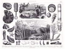 Impresión antigua 1874 de las plantas de Prheistoric de los animales jurásicos y cambrianos del período y Imagen de archivo