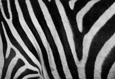 Impresión de la cebra Imagen de archivo
