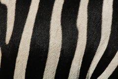 Impresión de la piel de la cebra Fotografía de archivo