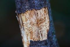 Impresión de las pistas del escarabajo de corteza fotografía de archivo
