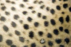 Impresión de la piel del guepardo Fotografía de archivo libre de regalías