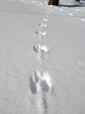 Impresiones de la ardilla en nieve Foto de archivo libre de regalías