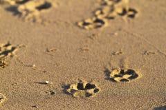 Impresiones de la pata en la arena   Imágenes de archivo libres de regalías
