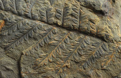 Impresiones de plantas antiguas Foto de archivo libre de regalías